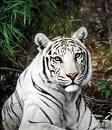 Galzorian dagoen Siberiako tigrea edo tigre zuria