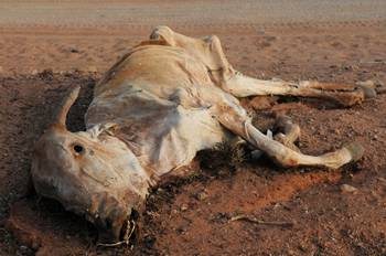 kenya-dead-cow-close-up